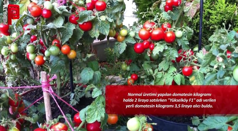 "Yerli domates ""Yükselköy F1"""