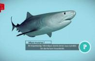 Köpekbalığının Burnu