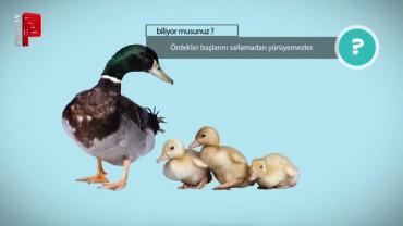 Ördek başını neden sallar?
