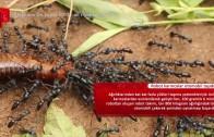 Robot karıncalar otomobil taşıdı
