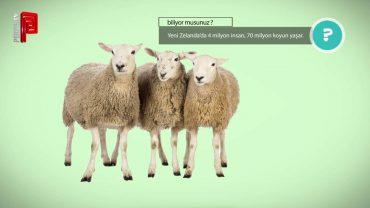 Koyun ülkesi Yeni Zelanda