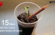 Kalemden Bitki Nasıl Yetiştirilir?